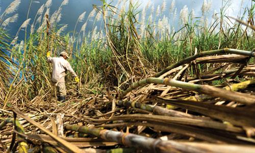 Sugarcane 3.jpg
