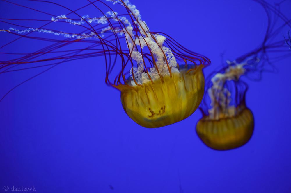 Jellies | Oregon Coast Aquarium