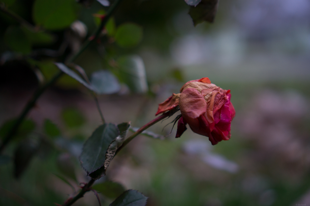 Wilting | 365 Project | Feb 10th, 2013
