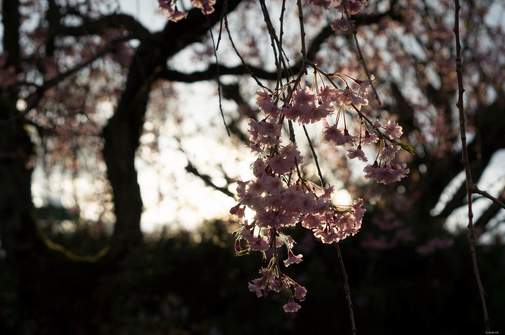 Weeping Cherry Blossoms Take 2 | 365 Project | April 1st, 2013 | 35mm, f/4, ISO 100, 1/250  Downloads |  Desktop  |  iPad  |  iPhone