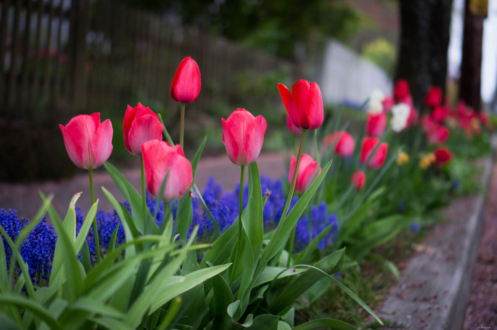 Tulips | 365 Project | April 3rd, 2013 | 35mm, f/1.9, ISO 100, 1/100