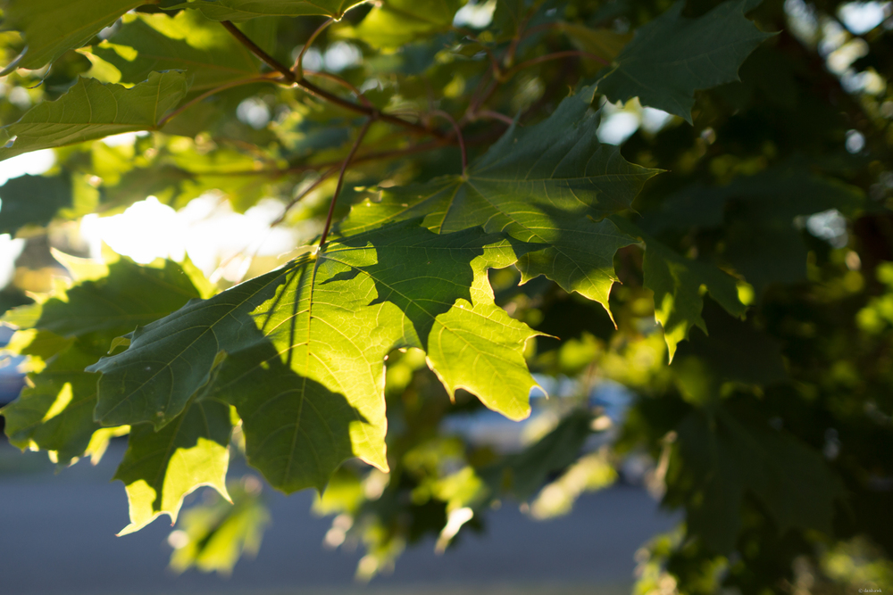 Backlit Leaves Evening | 365 Project | September 7th, 2013 | 24mm, f/2, ISO 100, 1/320