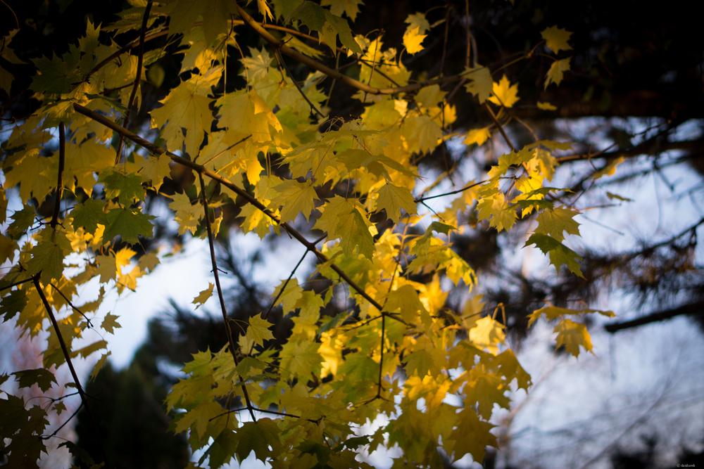 Backyard Leaf Light | 50mm, f/1.8, ISO 100, 1/250