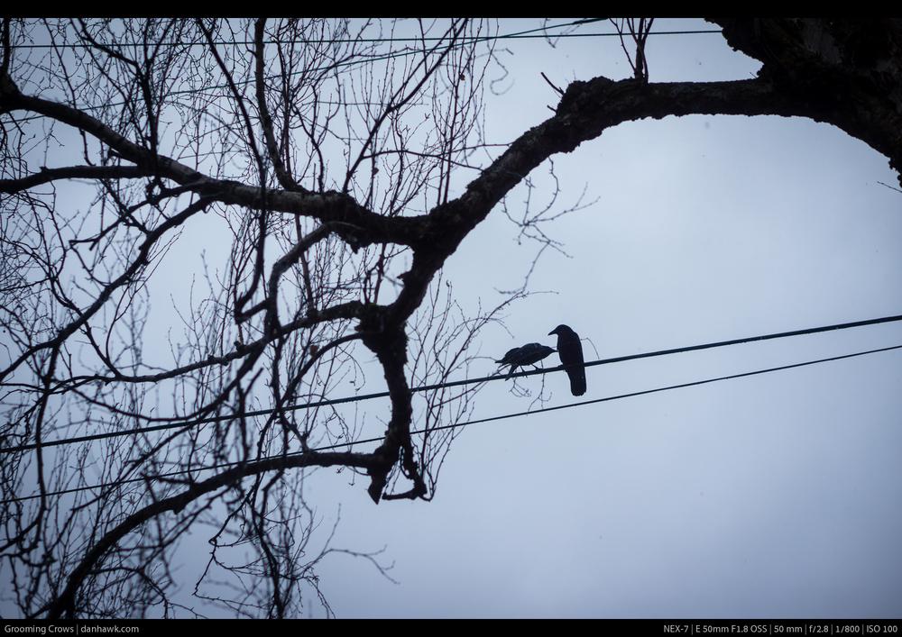 Grooming Crows