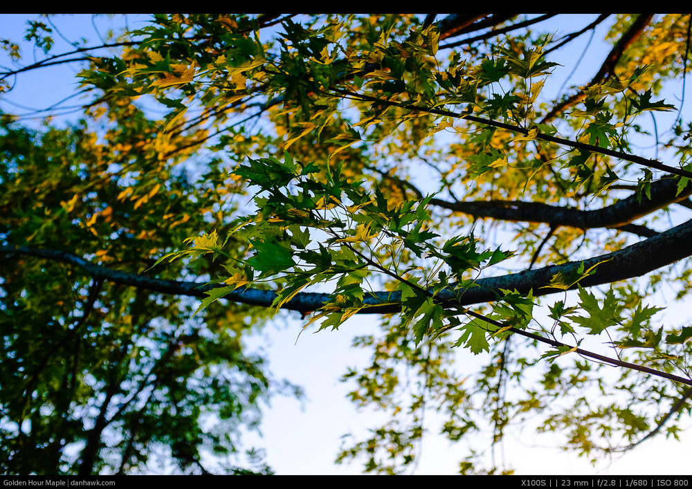 Golden Hour Maple