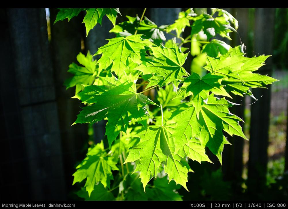 Morning Maple Leaves