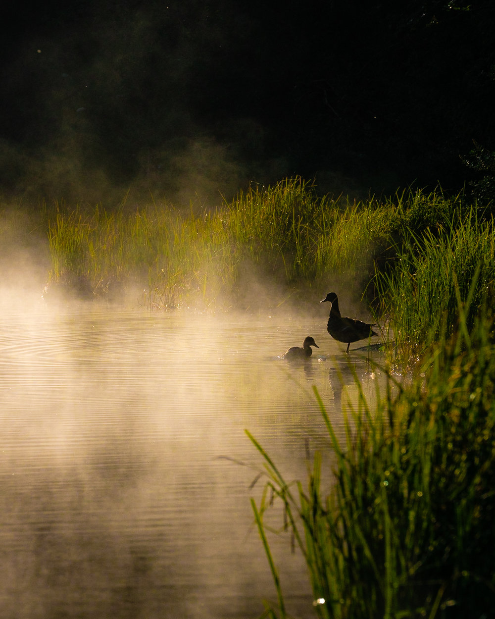 Ducks and Fog.jpg