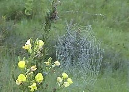 Evening Primrose (Oenothera biennis) with Spider Web by a charming unidentified Weaver.