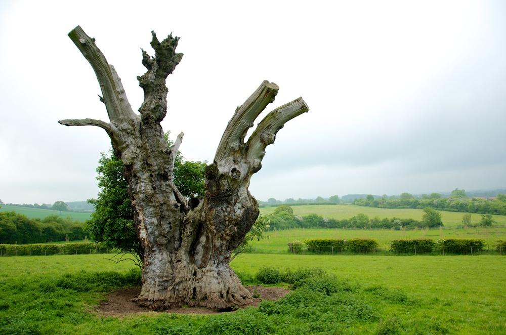 Bunyan Oak 4.jpg
