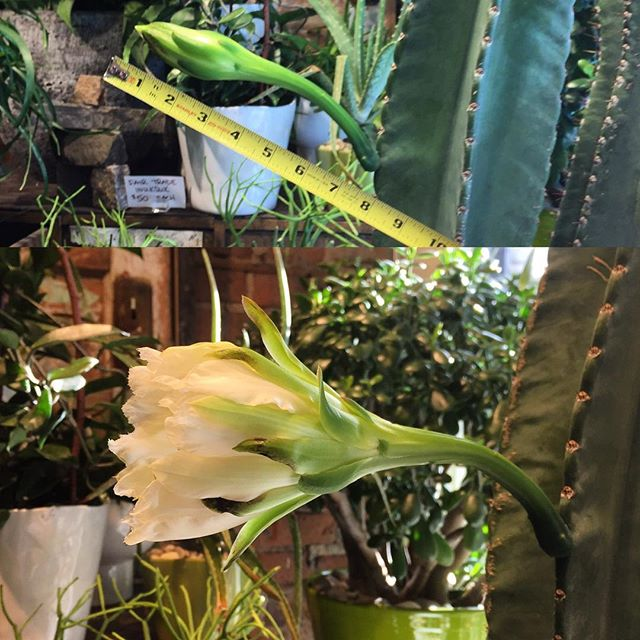 Last week our 4ft tall #PeruvianTorch #Cactus bloomed! And more buds are coming! We love seeing our babies so happy. 🌵😍 #cacti #desertplants #ecofriendly #green #locallygrown #plantsmakepeoplehappy #sustainable #toronto #torontoflorist #trichocereus