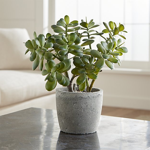 potted-jade-plant.jpg