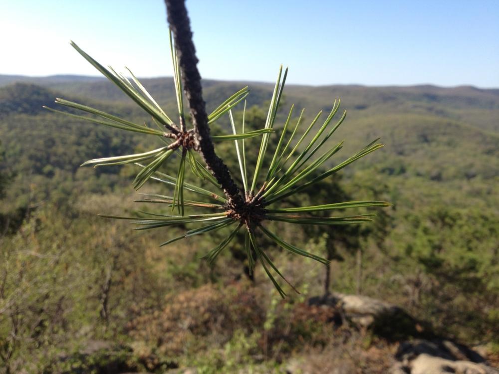 pine-background.jpg