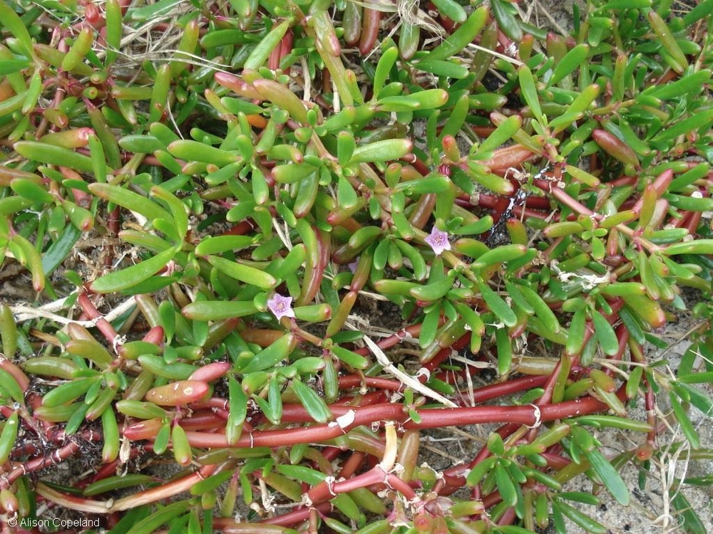 Seaside Purslane