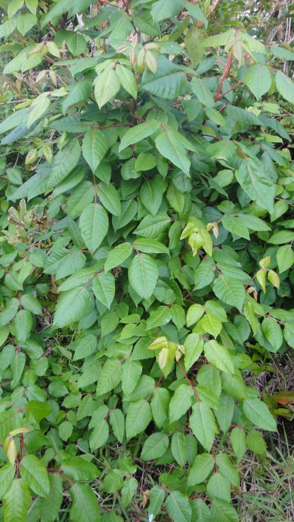 Poison Ivy Devonshire Marsh