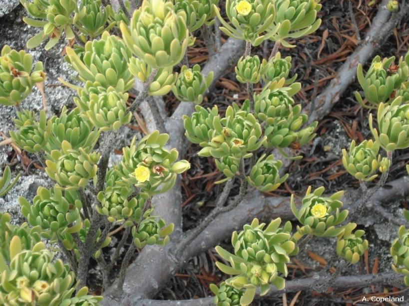 Tassel Plant