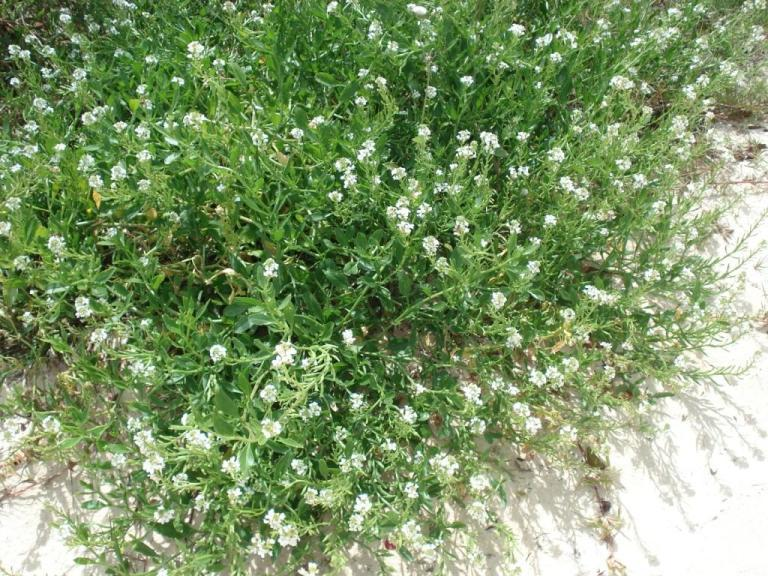 Scurvy Grass or Sea Rocket