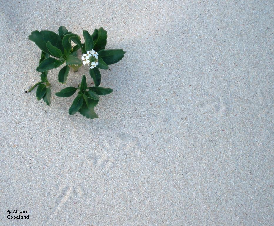 Scurvey Grass & Turnstone footprints