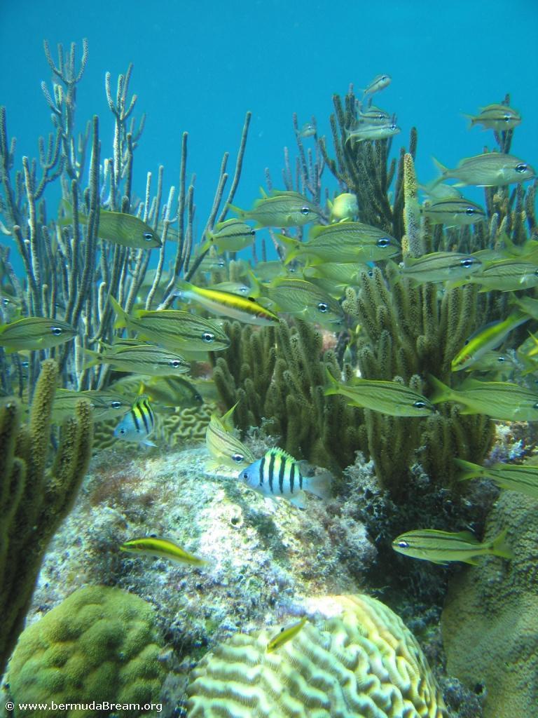 grunts over coral.jpg
