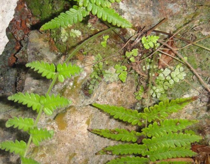 Toothed Spleenwort and Bermuda Sheild Fern