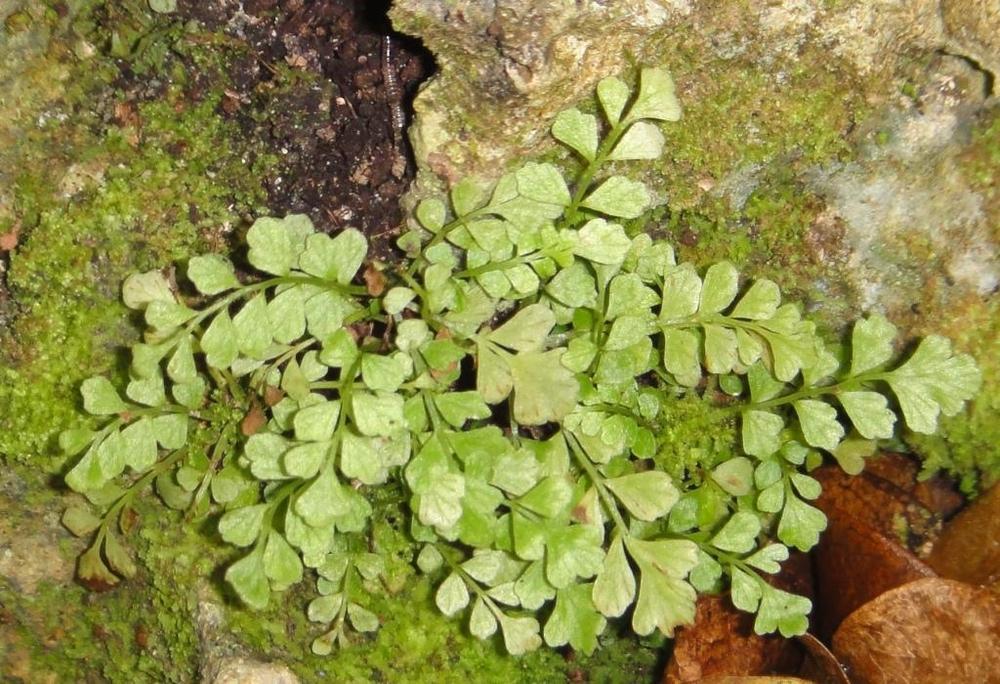 toothed spleenwort