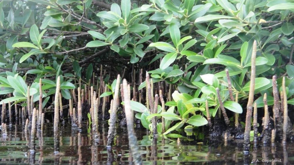 Black Mangrove pneumatophores