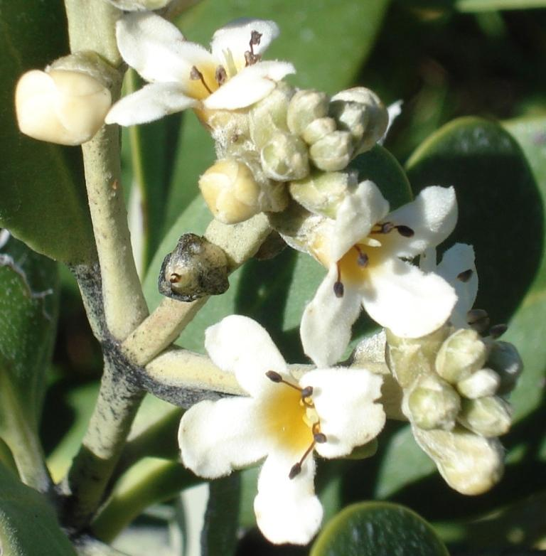 Black Mangrove Flower