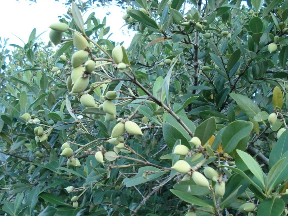 Black Mangrove Propagules