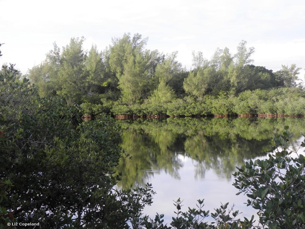 Lagoon Park mangroves