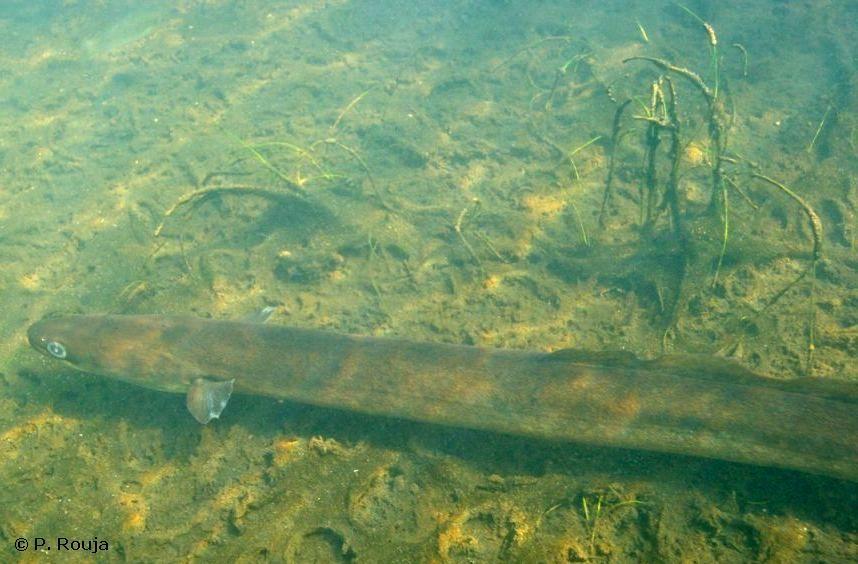 Anguilla Eel