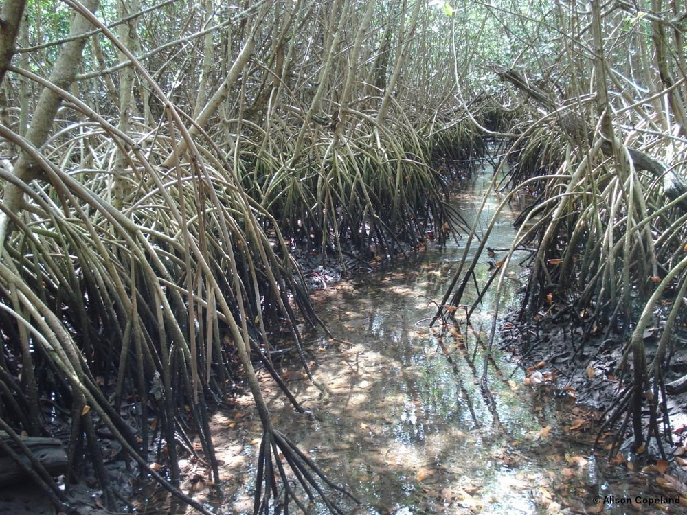 Red Mangrove in Hungry Bay