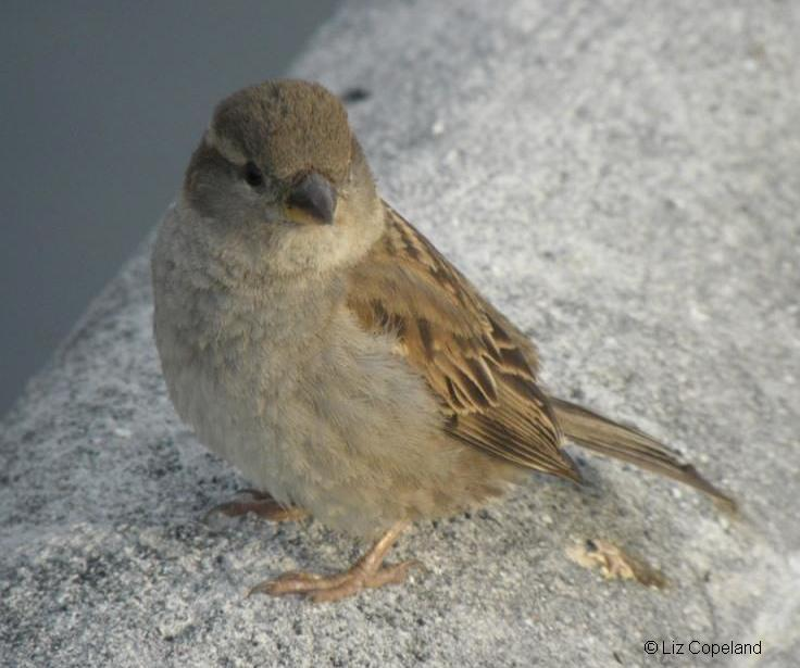 female sparrow.jpg