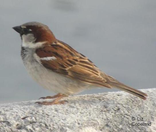 male sparrow.jpg