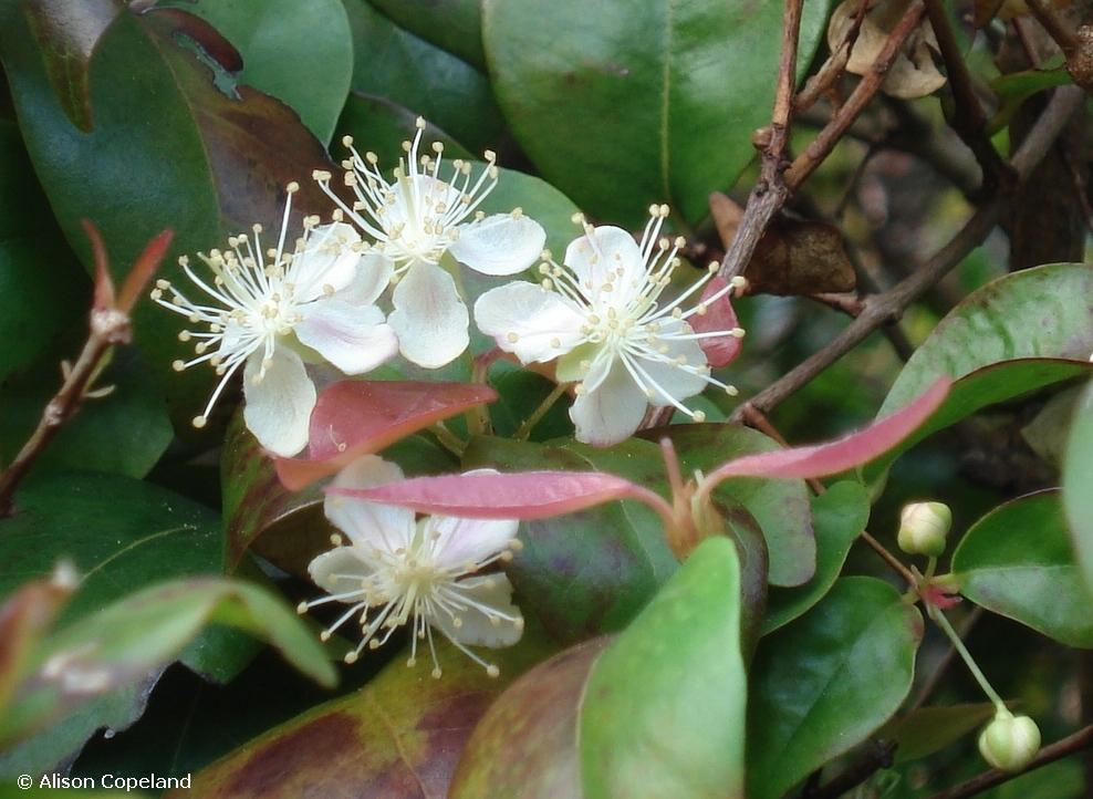 Surinam Cherry Flowers