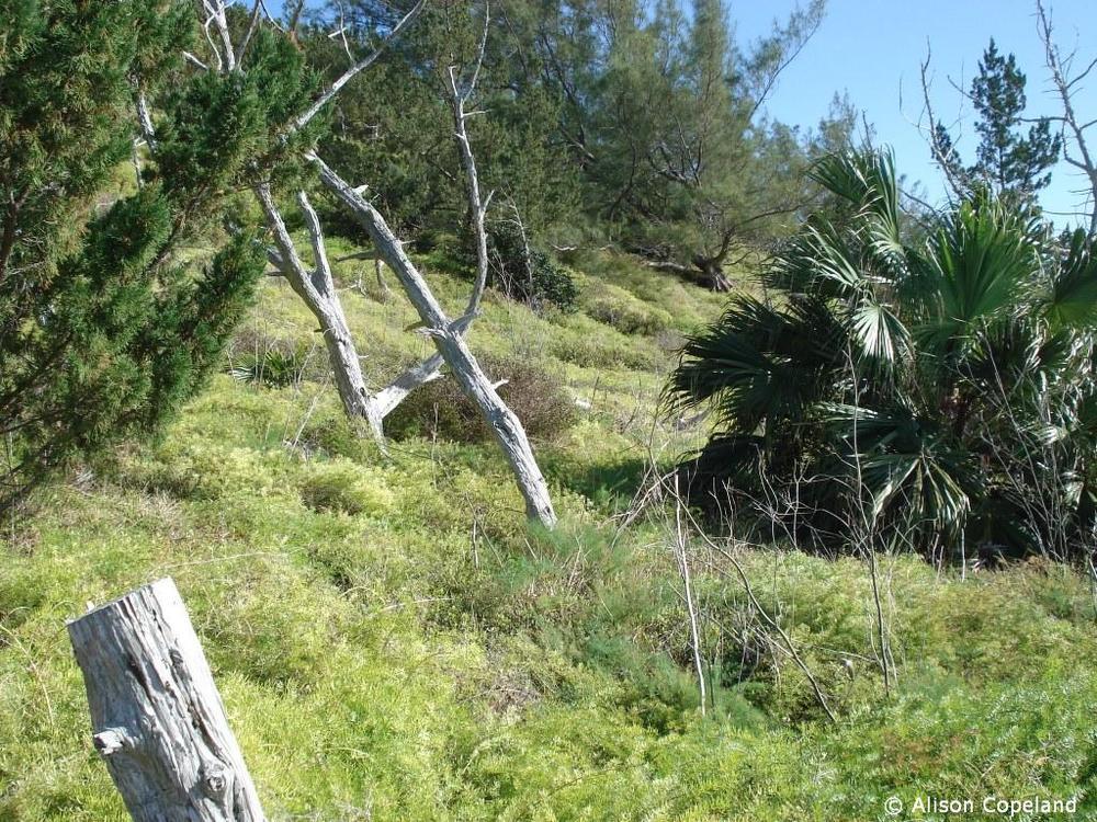 Asparagus Fern, Hog Bay