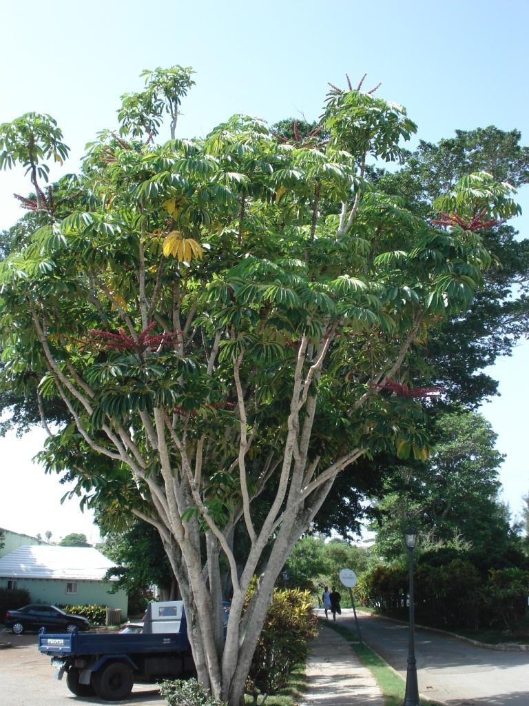 Queensland Umbrella Tree