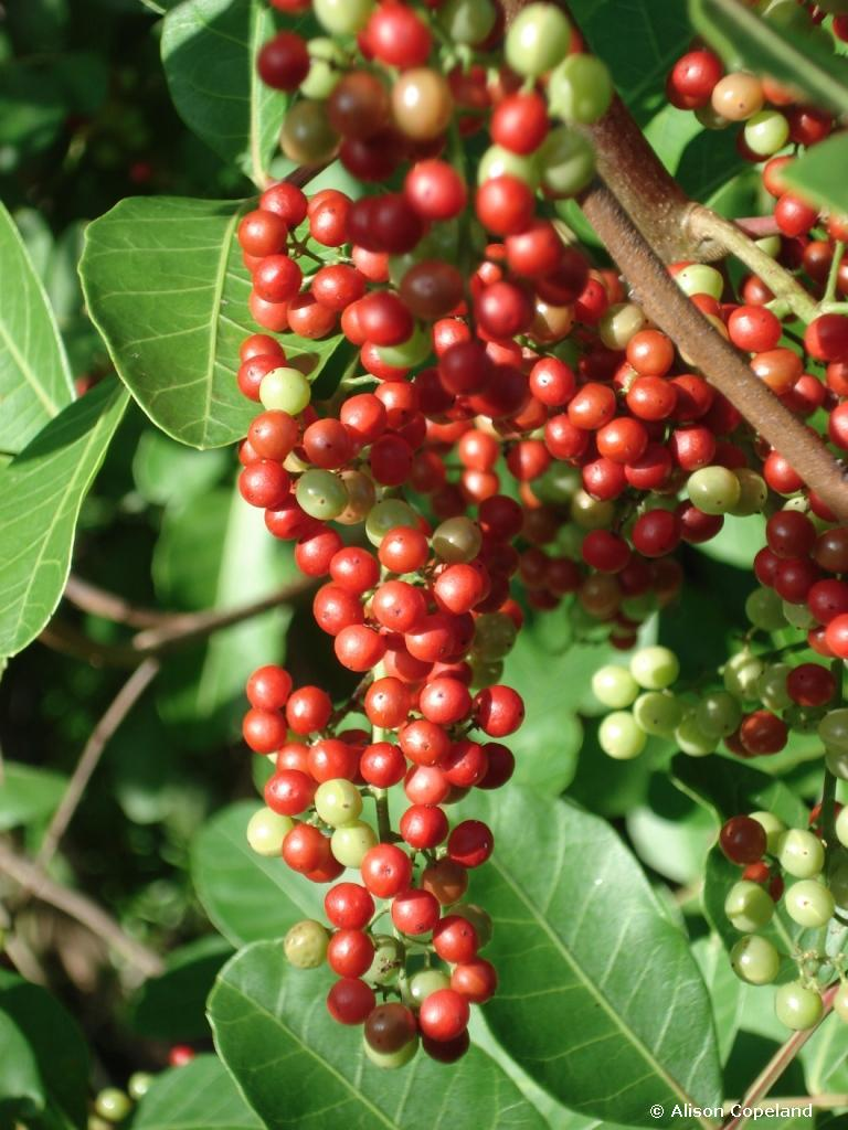 Brazil Pepper berries