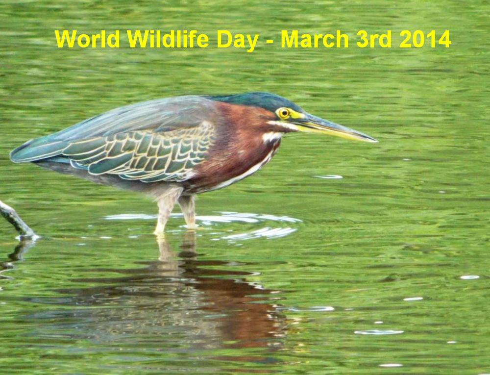 Green Heron, Spittal Pond