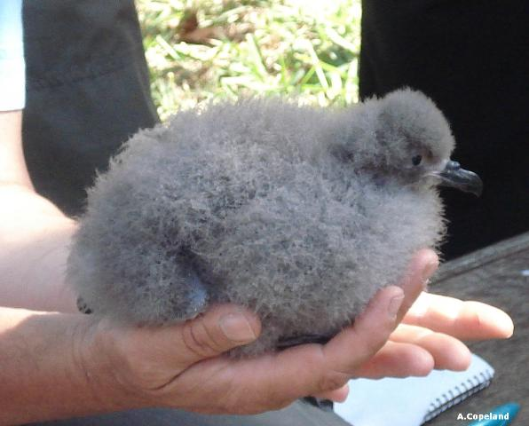 'Somers', the first Cahow chick born on Nonsuch Island since 1620