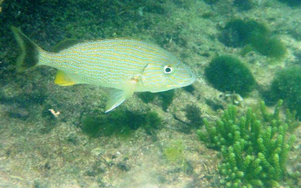 Blue-striped Grunt