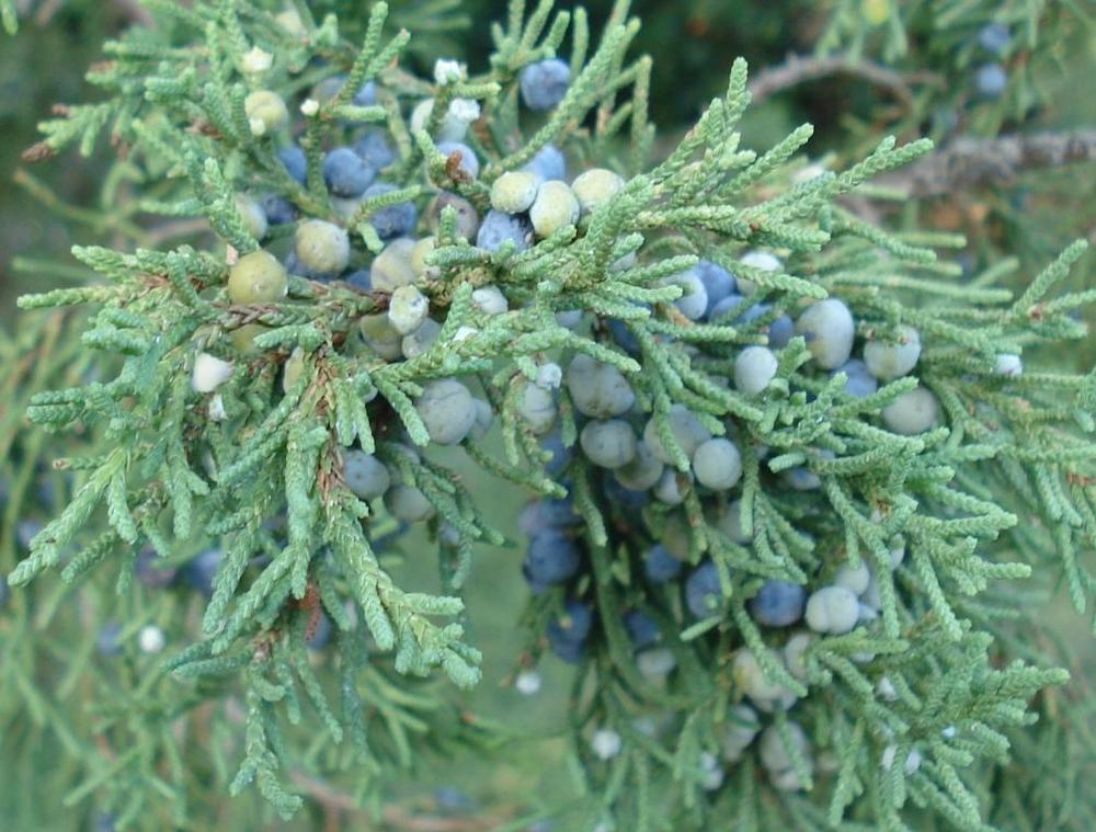 Bermuda Cedar berries are only produced by female trees