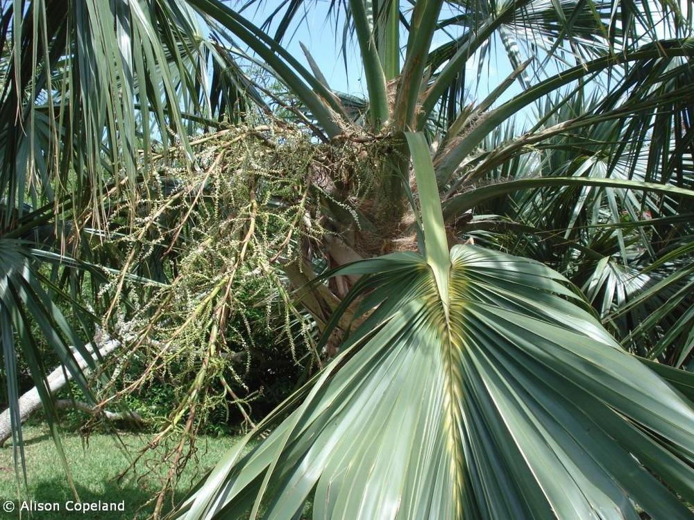 Flowering Palmetto, Spittal Pond
