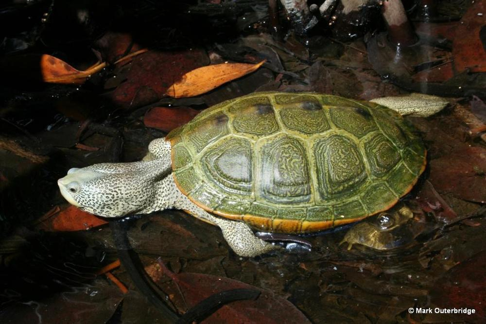 Diamondback terrapin swimming among the prop roots of a red mangrove tree in a brackish water pond. In Bermuda these terrapins are highly dependent on mangrove fringed ponds for their survival. While their former range across the Island is unknown, they are now restricted to only 2 such ponds.
