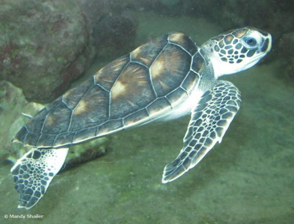 Juvenile Green Turtle