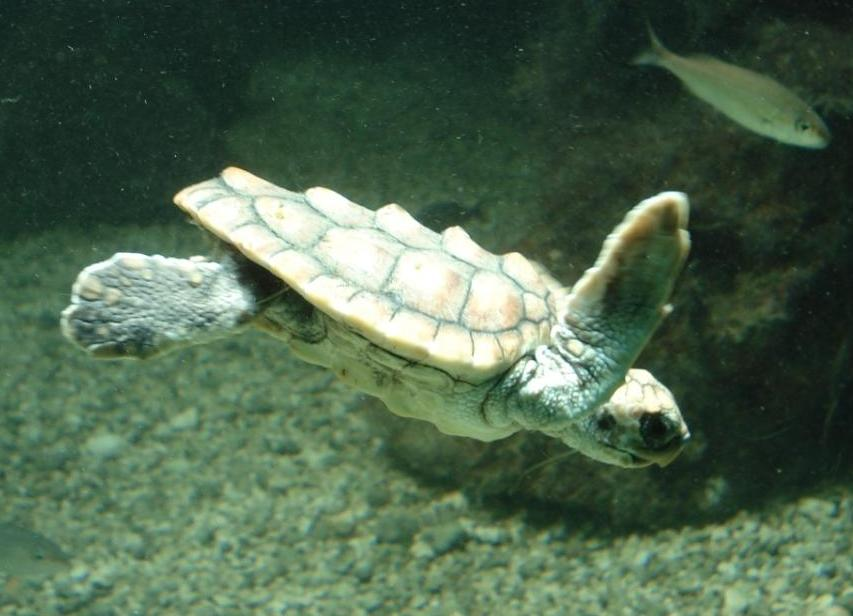 Juvenile Loggerhead Turtle that was rehabilitated at the Bermuda Aquarium after stranding.