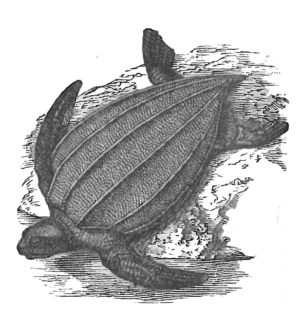 Leatherback turtle — the department of environment and