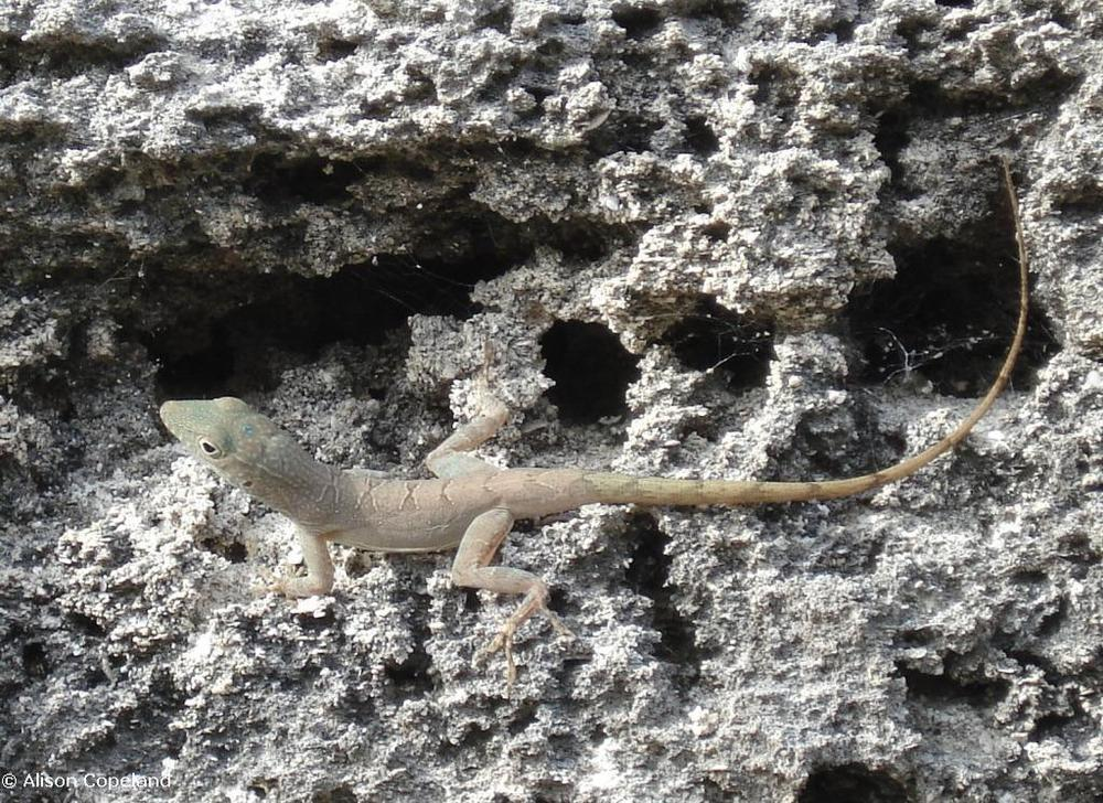 Female Jamaican Anole with diamond pattern on the back