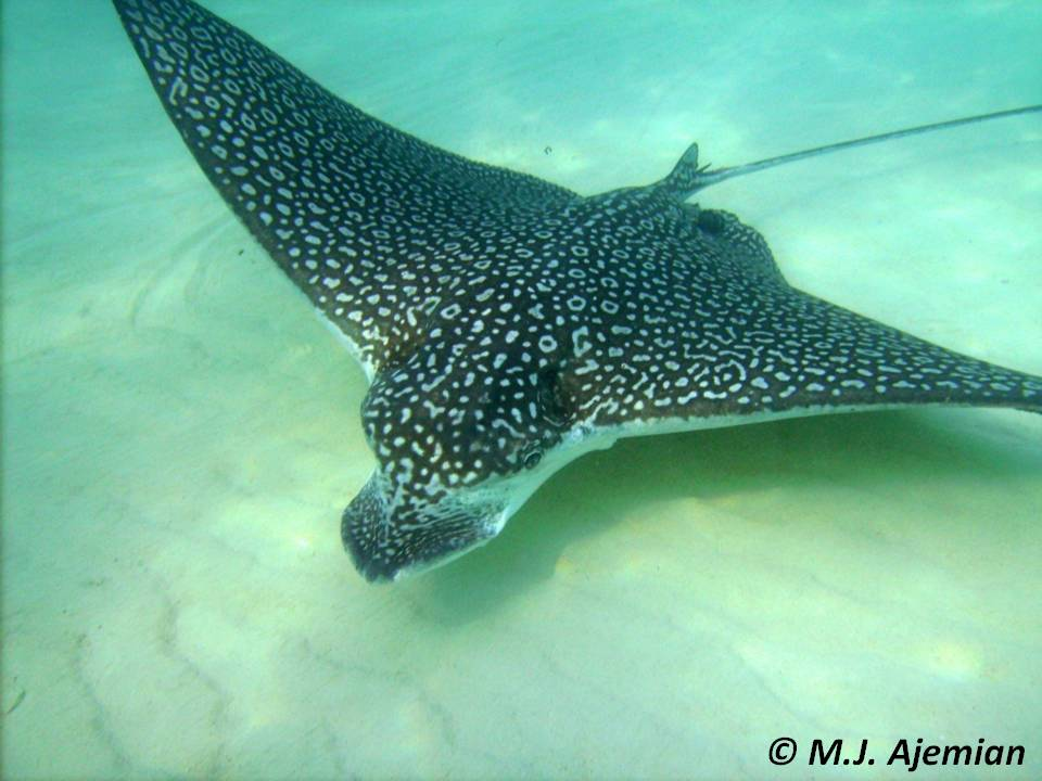 spotted eagle ray the department of environment and natural resources