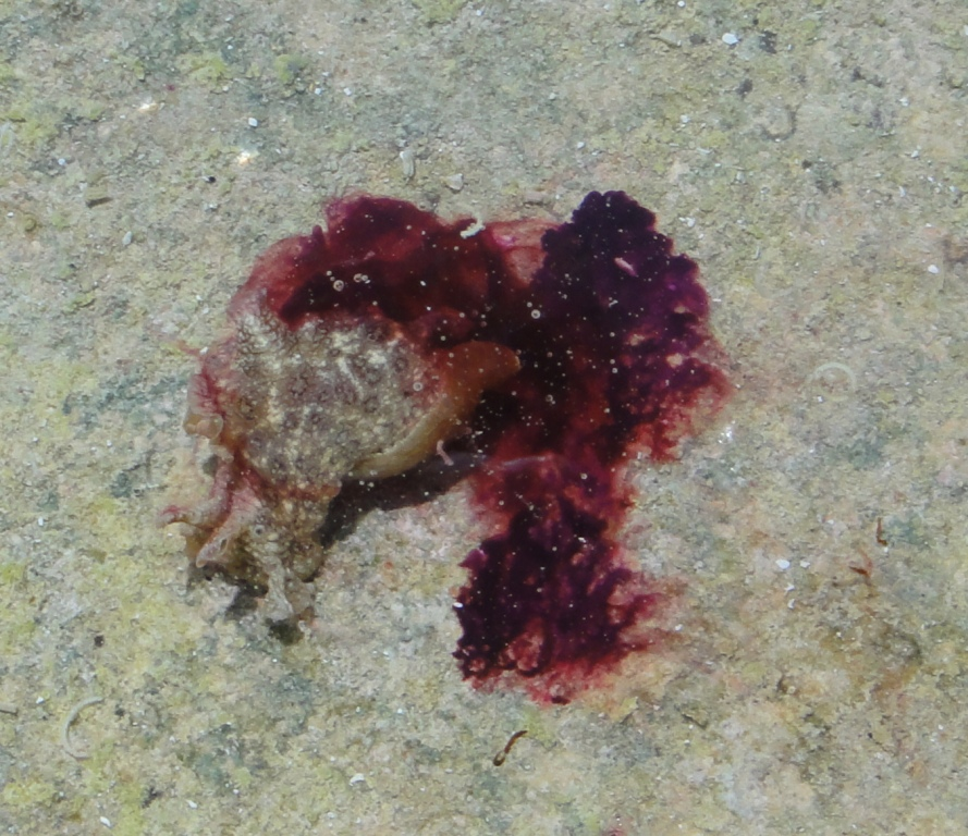 Sea Hare releasing ink