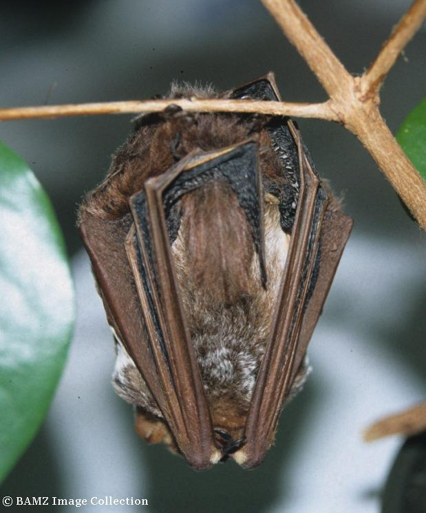 Roosting Seminole Bat ( L.seminolus ) © BAMZ Image Collection