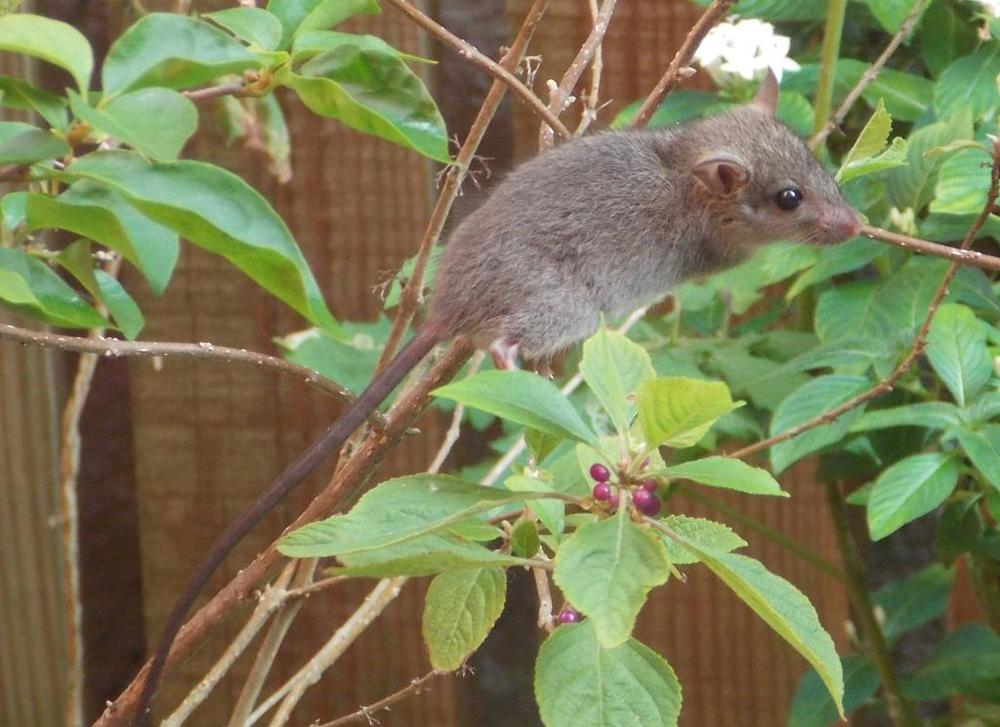 Juvenile Black Rat